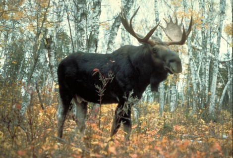 moose_superior-scaled1000