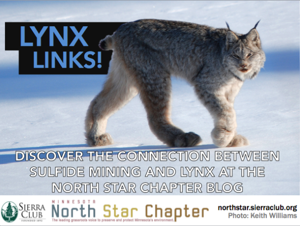 North Star Critter Spotlight: Canada Lynx