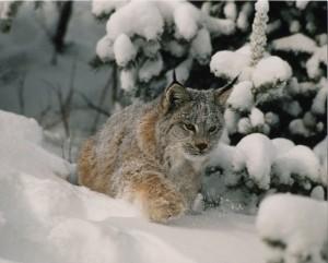 Lynx running in Snow