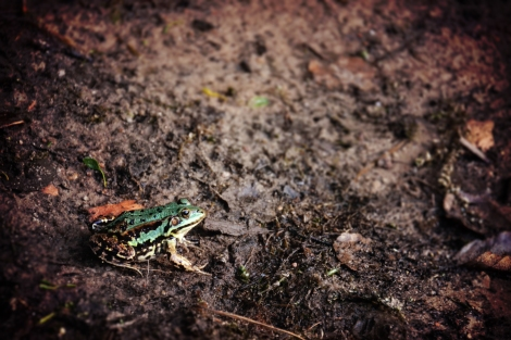 Frog Jill Heyer