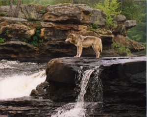 Wolf at Waterfall