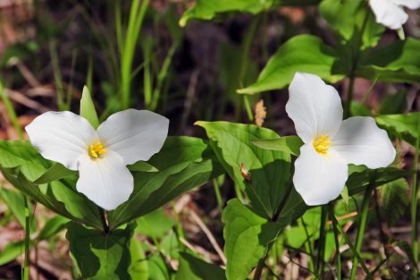 White Trillium. Photo by Tom Thompson